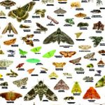poster featuring common moths of the united states