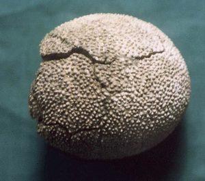 dinasour egg fossil