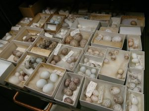Holt egg collection