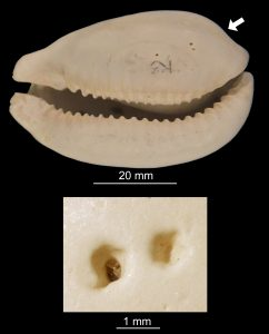 Example of a fossil cowrie specimen from Florida drilled by an octopus.