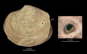 Late Cretaceous bivalve specimen showing an octopod hole.