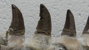 Grooves on the inside of several teeth were made to scrape off enamel for oxygen isotope analyses.