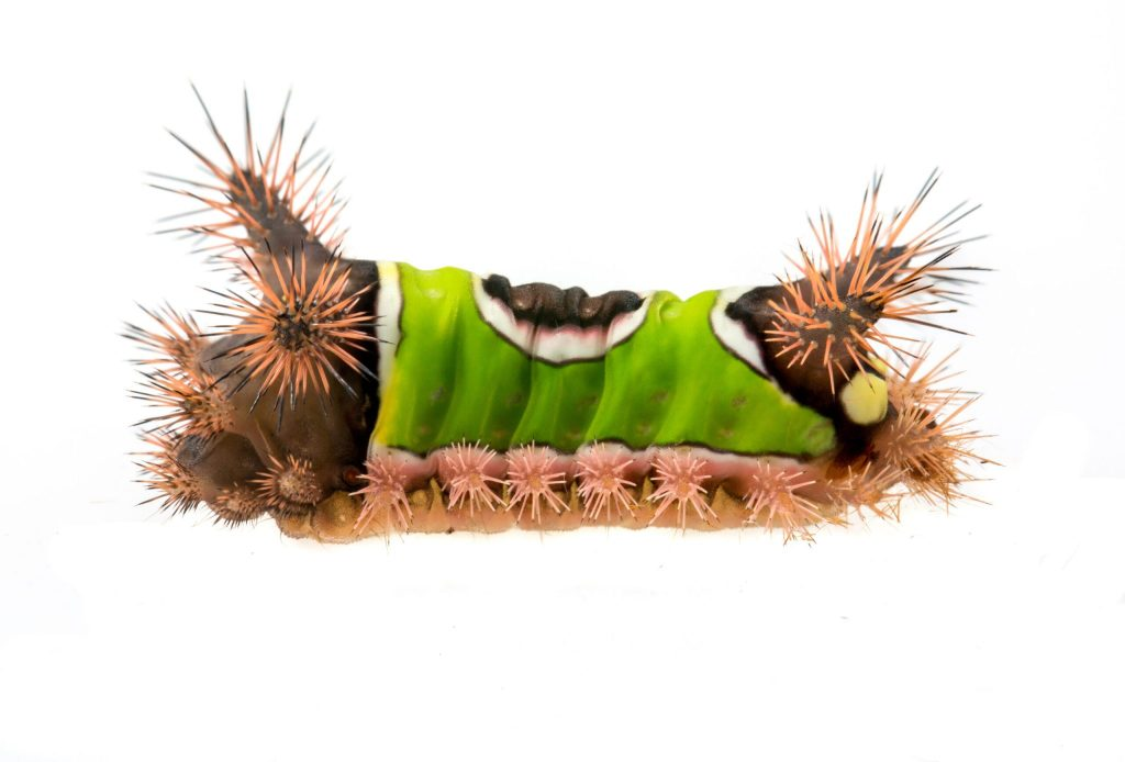 """Steer clear of the Saddleback Caterpillar, its green """"shirt"""" is a dead giveaway. Photo via The University of Alabama, Dr. John Abbott"""