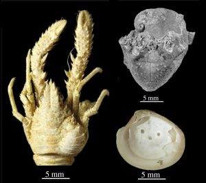 Examples of parasitism in marine animals. Left: squat lobster with a swelling in the right gill region caused by an isopod; upper right: platyceratid gastropod on top of a crinoid calyx; lower right: circular pits caused by a trematode on the shell interior of a bivalve shell.