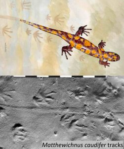 Impression of the ancient amphibian tracemaker and the tracks found in northern Alabama. From Buta & Kopaska-Merkel (2016), UA Press.